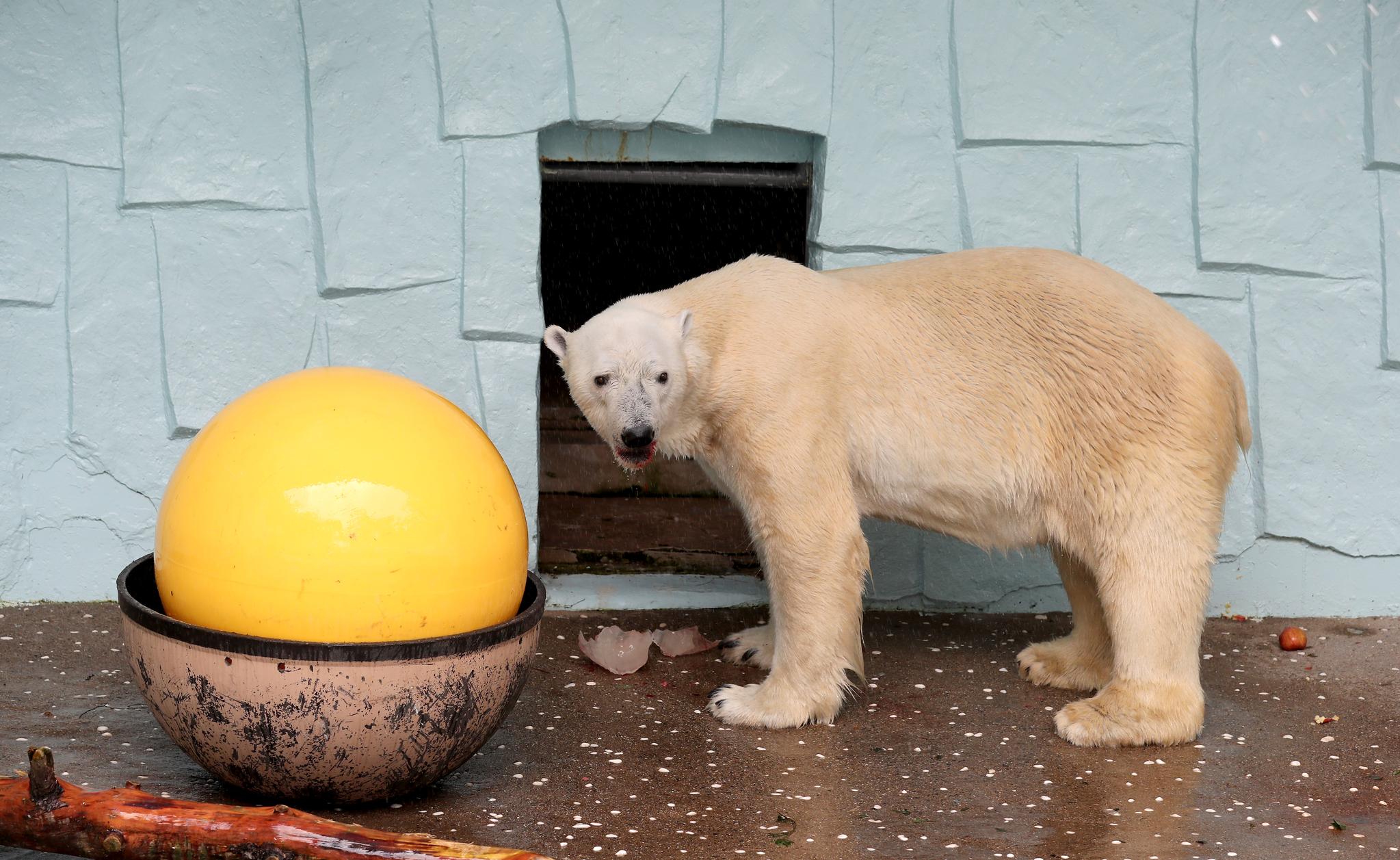 북극곰 통키가 지난 17일 숨졌다. 통키는 국내 남아있는 마지막 북극곰이다. 사진은 지난 6월 통키의 모습.최승식 기자