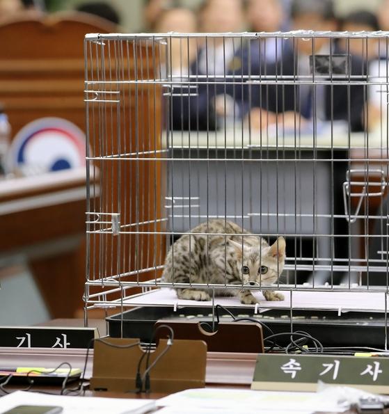 10일 정부세종청사에서 열린 국회 정무위원회 국정감사에서 김진태 자유한국당 의원의 질의를 위해 가져온 벵갈고양이가 놓여져 있다. [뉴스1]
