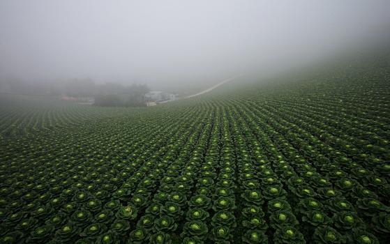 8월의 안반데기. 기슭을 따라 이어진 배추밭이 언뜻 거대한 꽃밭 같다. 권혁재 사진전문기자