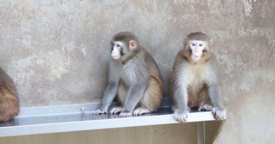 붉은털원숭이. [연합뉴스]