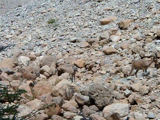 아이벡스는 소과 염소속 동물이다. 이 사진에선 아이벡스가 몇마리일까? 정답은 3마리다. 이처럼 주변 환경 속에서 몸을 감추는 위장에 뛰어난 동물이 있다. [사진 위키피디어]