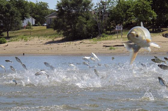 일리노이강에서 아시아 잉어가 물 위로 뛰어 오르는 모습. [사진 AP]