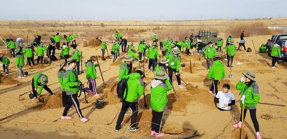 한중 녹색봉사단원들이 지난 7일 중국 쿠부치 사막에서 포플러 나무를 심고 있다.