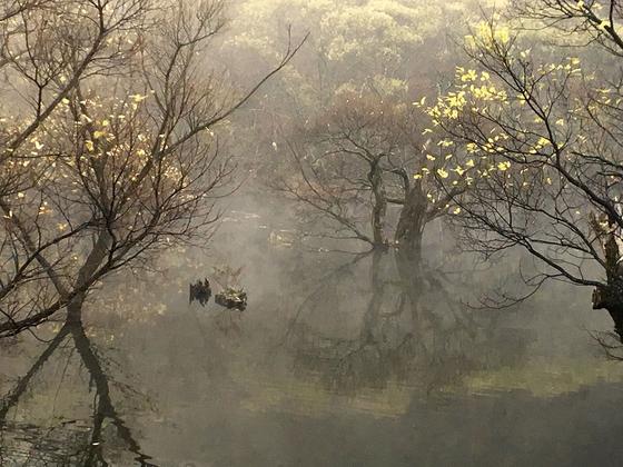 물안개에 묻힌 주산지 왕버들 나무들. 가을 끝자락 단풍마저 스산해 보인다. [사진 하만윤]