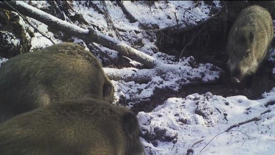 지난해 1월 북한산국립공원에서 포착된 멧돼지 무리. [사진 국립공원관리공단]