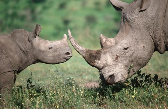 코뿔소는 앞만 보고 달리는 습성이 있다. 이를 이용해 인디언은 코뿔소를 뒤에서 쫓아 절벽으로 모는 방법을 썼다. 바둑에서는 이런 잘못을 피하기 위해 복기가 필수다. [중앙포토]