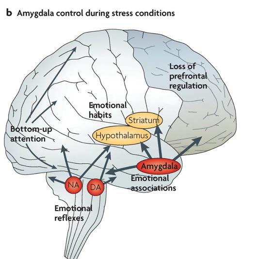 스트레스가 많은 상황에서 뇌는 편도체(Amygdala)가 활발해지는 등의 영향으로 합리적 판단을 돕는 전전두엽의 기능이 저하 된다. 자료=논문 '전전두 피질의 구조와 기능을 손상시키는 스트레스 신호 전달 경로'(예일대 의과대학 신경생물학 에이미 안스텐 교수)