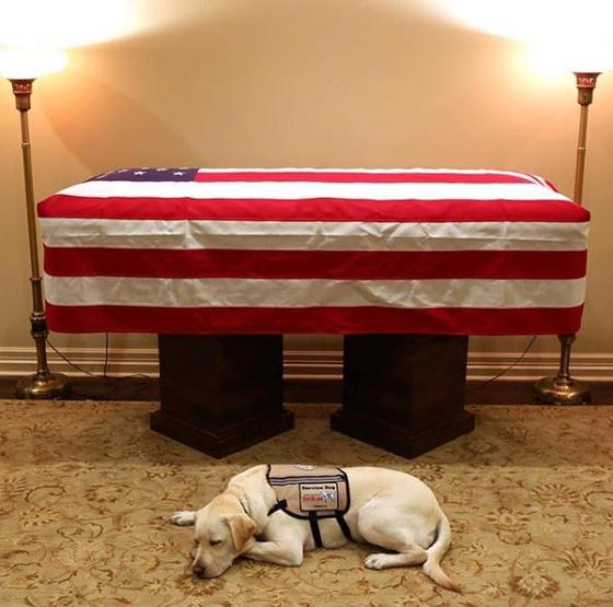 조지 부시 전 미국 대통령의 도움견 설리가 대통령 관 앞을 지키고 있는 모습.