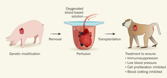 돼지 심장을 개코원숭이에 이식하는 과정을 담은 그림. 영상 8도에서 심장을 보관한다. 그와 동시에 이식을 앞둔 심장에 산소가 충분한 혈액 기반 특수 용액을 주입한다. [사진 네이처]