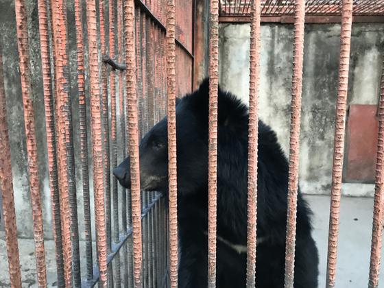 7일 녹색연합이 구출해 전주동물원으로 옮겨진 반달가슴곰 '곰이' [사진 녹색연합]