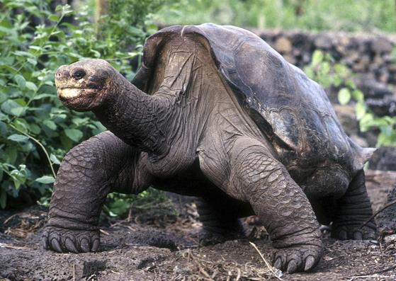 지난 2012년 6월 24일 사망한 외로운 조지(Lonesome George)는 사망 당시 약 100살로 추정됐다. 과학자들은 외로운 조지와 다른 거대 거북 한 마리의 유전자를 분석해, 이들의 장수의 비밀을 파헤쳤다. [로이터=연합뉴스] 론썸 조지 (Lonesome George)로 알려진 거대한 갈라파고스 거북이는 2001 년 2 월 5 일 파일 사진에서 푸