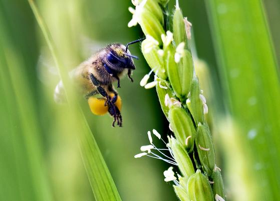 벼꽃에 날아든 꿀벌. 벼꽃은 개화한다고 하지 않고 출수한다고 한다. 하나의 이삭에서 100개 이상의 작은 꽃이 피기 때문이다. [중앙포토]