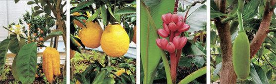 대구수목원에 있는 열대과일. 왼쪽부터 불수감, 하귤, 분홍바나나, 잭후르츠. [중앙포토]