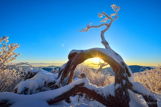 태백산국립공원 천제단에서 주목 사이로 해가 뜨고 있다. [사진 국립공원관리공단]