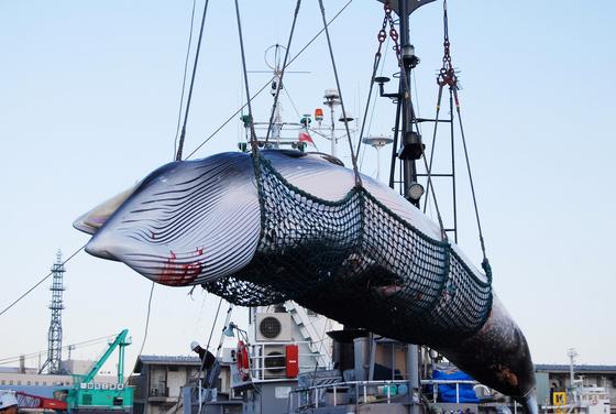 훗카이도의 한 항구에서 연구 목적으로 포경된 밍크 고래가 하역되고 있다. [AP=연합뉴스]