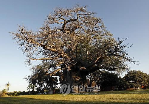 남아프리카공화국의 바오밥나무. [EPA=연합뉴스 자료사진]