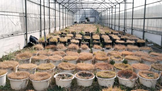 제주대 아열대원예산업연구소에서 재바하고 있는 한국 들잔디 품종. 연구소는 품종 개량을 통해 골프장 등에서 사용할 수 있는 국산 들잔디를 개발하고 있다. 이 연구소는 지난 2014년 꽃이 피지않는 제초제 저항성 GM 잔디를 개발해 정부에 재배 승인을 신청한 상태다. [중앙포토]