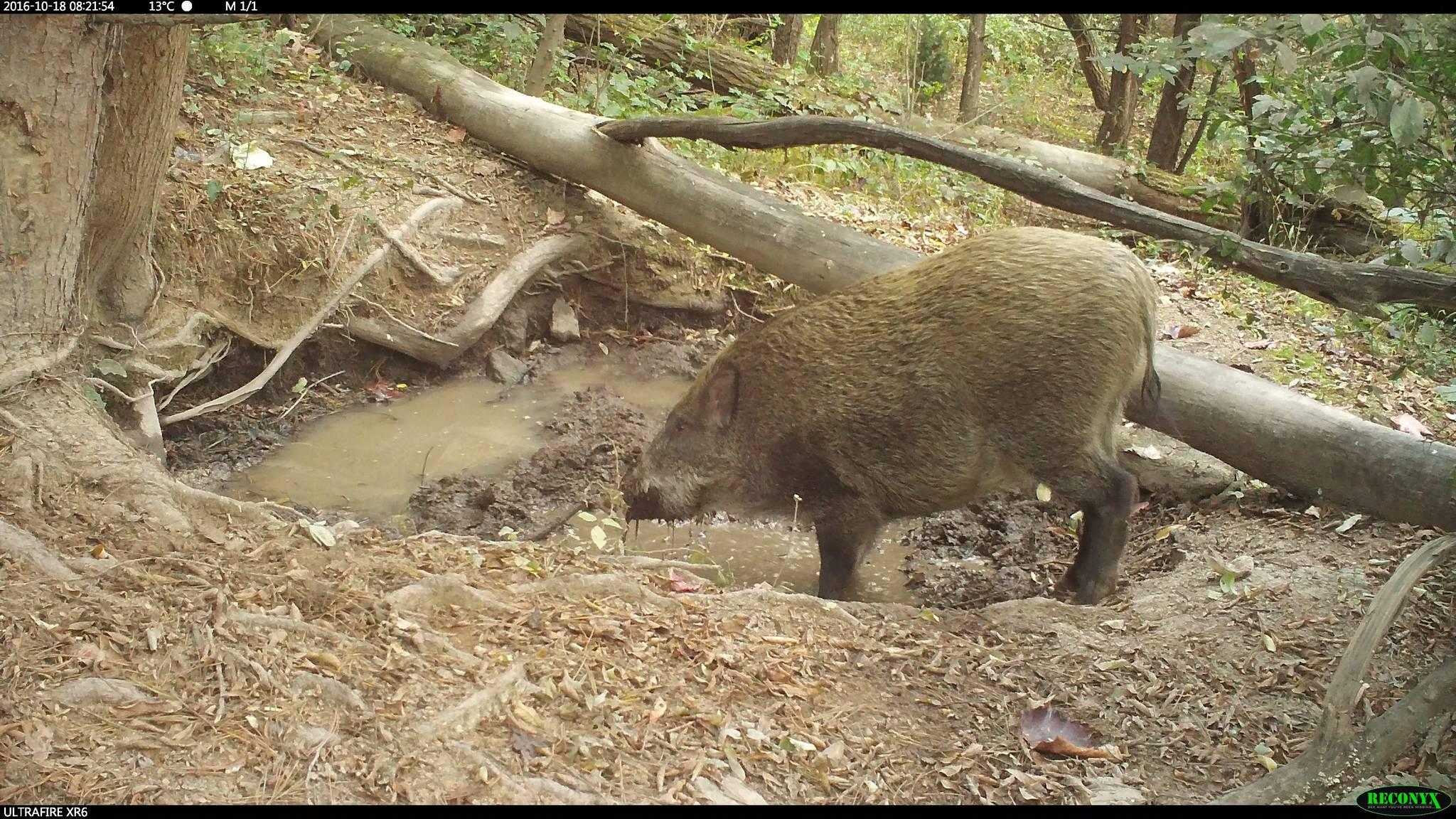 진흙탕 목욕을 즐기는 멧돼지. [중앙포토]