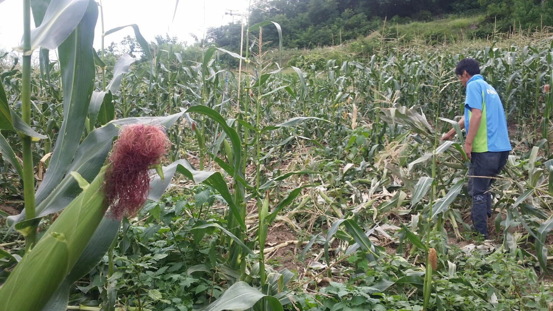 강원도 춘천시에서 한 농민이 멧돼지 습격으로 쑥대밭이 된 옥수수밭을 살펴보고 있다. [중앙포토]
