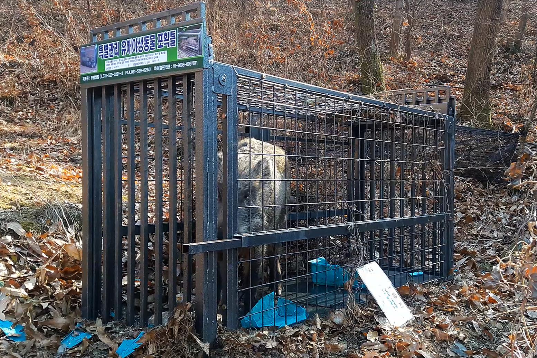 지난해 1월 광주 동구 운림동에 설치한 철제 포획틀에 60㎏(100근) 암컷 멧돼지 1마리가 붙잡혔다.[광주 동구청 제공=연합뉴스]