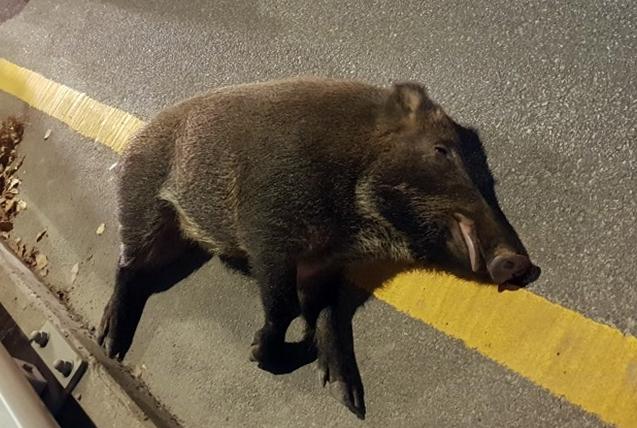 지난해 11월 13일 오후 청주시 흥덕구 도로에서 택시와 충돌한 멧돼지가 길가에 쓰러져 있다. [연합뉴스]