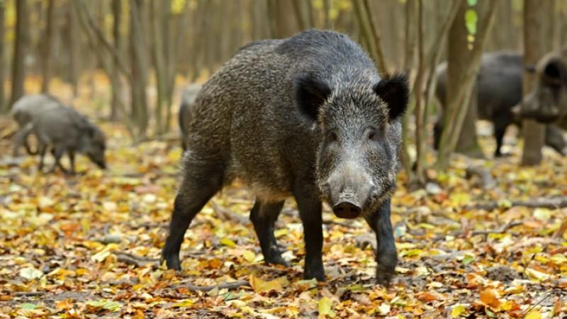 산에서 멧돼지와 마주쳤을 때 등을 보이고 달아나면 오히려 더 위험하다. [중앙포토]