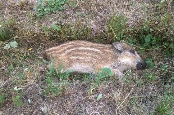 아프리카돼지출혈열(ASF) 바이러스에 감염돼 숨진 멧돼지 새끼. ASF는 러시아와 우크라이나 등지의 야상 멧돼지에서 자주 발견되고 있다. [사진 체코 수의학처]