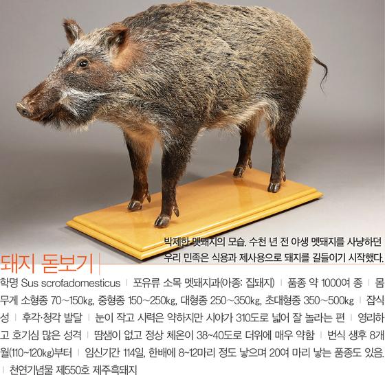 [소년중앙] 2000여 년 전부터 우리 곁 지켜온 부와 복의 상징 '돼지'