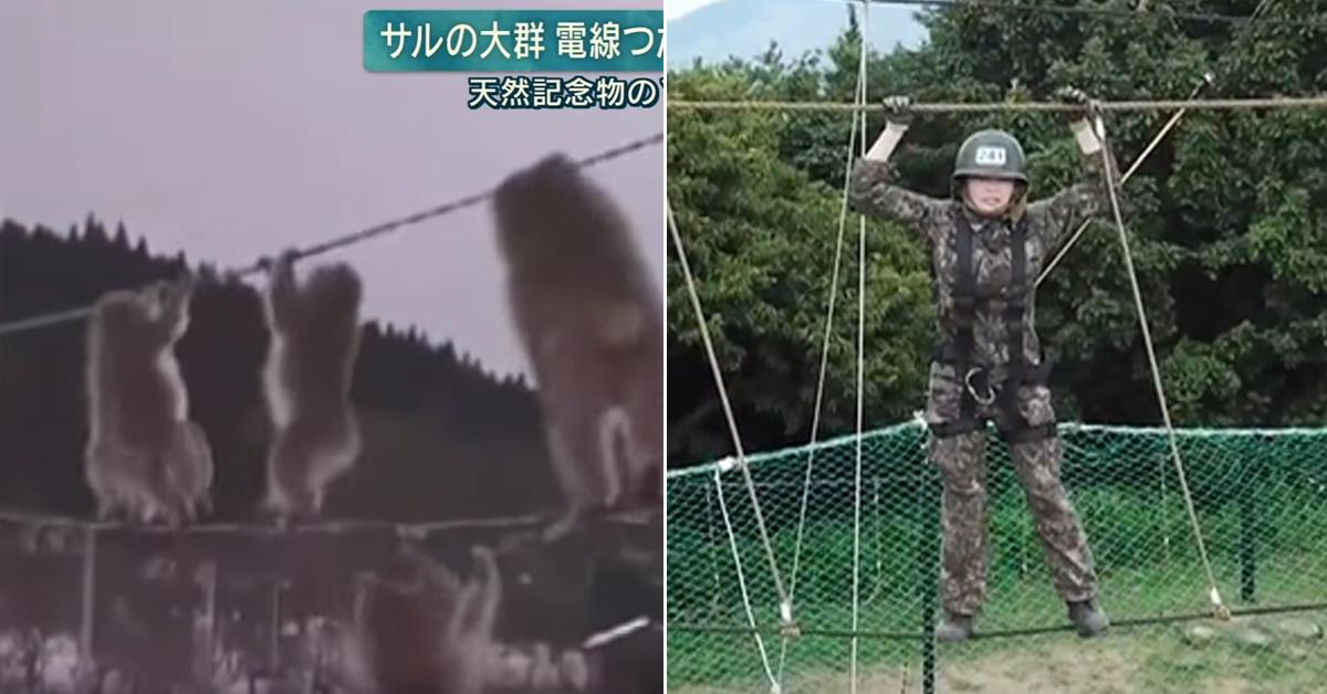 지난 7일 일본 북부 아오모리현에서 촬영된 원숭이 떼 이동모습(왼쪽)이 유격훈련(오른쪽) 을 떠올리게 한다. [유튜브 캡처, MBC 진짜사나이 화면 캡처]
