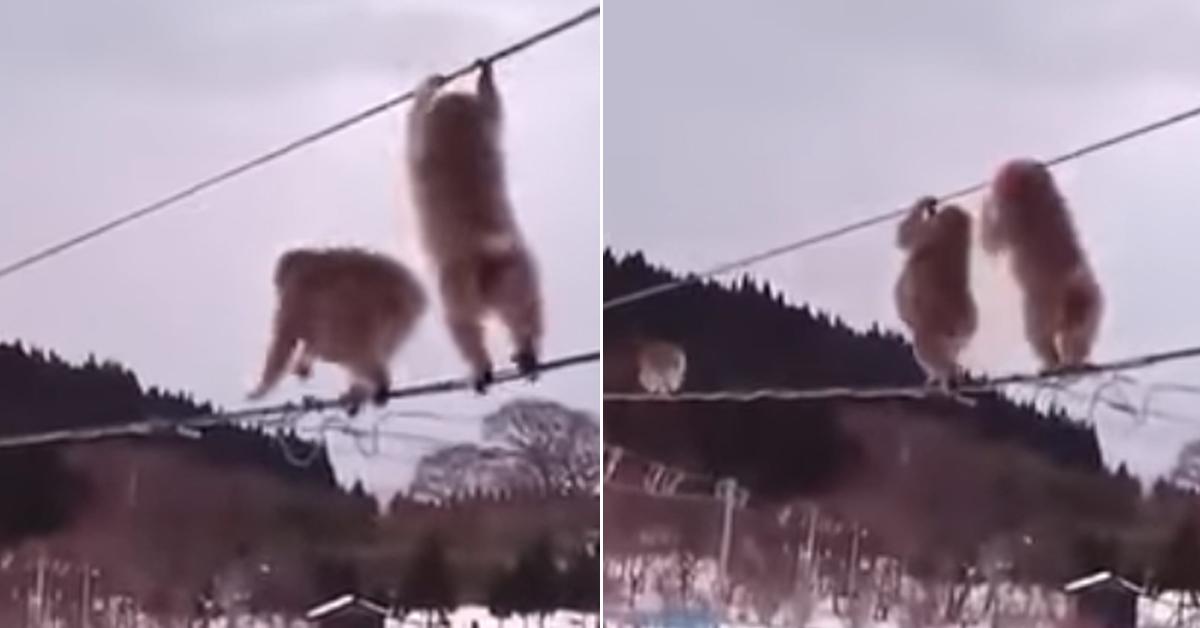 전선을 잡고 이동중인 일본 원숭이들. 원숭이들은 전선에서 미끄러지기도 하지만, 위 전선을 손으로 잡고 있어서 떨어지지는 않는다. [유튜브 캡처]