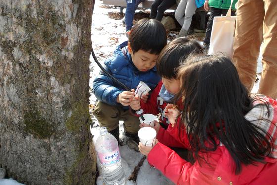 운문산자연휴양림에서 고로쇠 수액을 받고 있는 아이들. [사진 국립휴양림관리소]