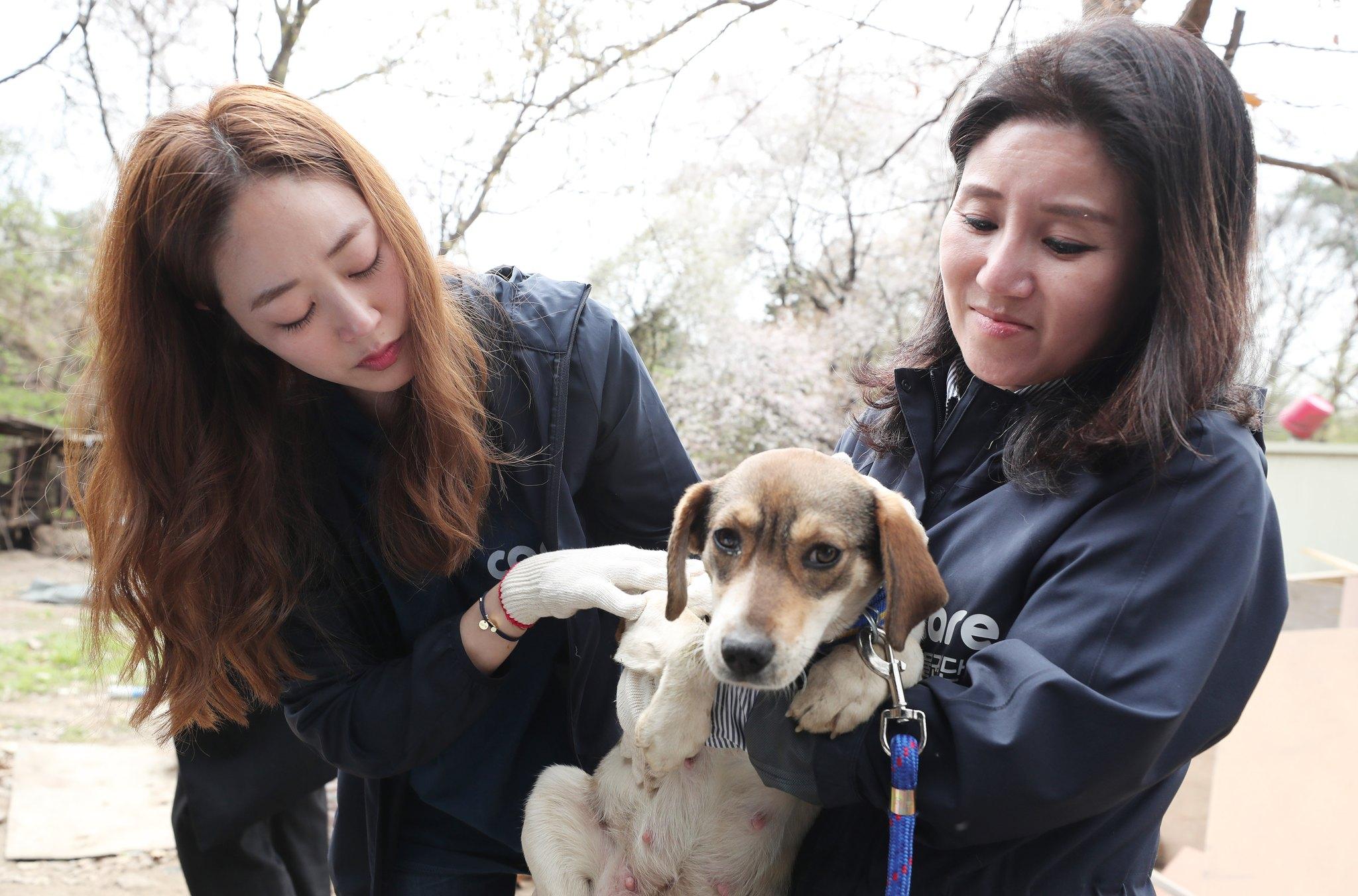 김효진 동물보호단체 케어 홍보대사가 지난해 4월 10일 오후 경기도 남양주시의 한 식용견 농장에서 구조 된 개를 살펴보고 있다. [뉴스1]