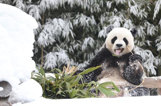 수컷 판다 러바오가 사육사들이 선물해준 새하얀 눈밭에서 신나게 뛰어 놀고 있다. [사진 에버랜드]