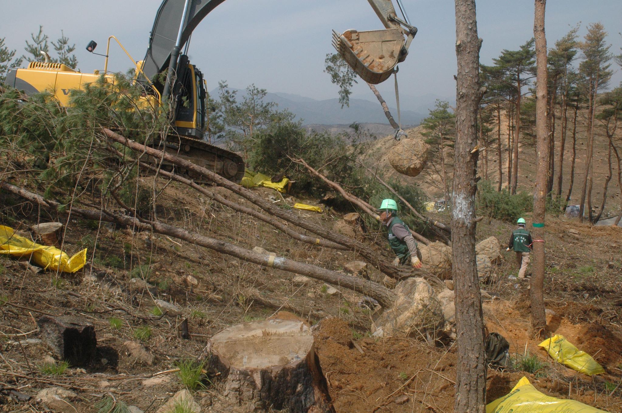 낙산사 주변 산불 피해 복구사업 현장. 동해고속도로 공사현장 등에서 가져온 수십년생 소나무를 조림했다. [중앙포토]