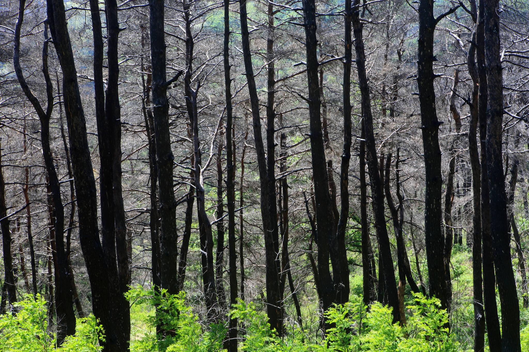 2017년 5월 6일 대형 산불이 발생한 강원 강릉시 성산면의 한 야산의 1년 뒤 모습. 산불이 나흘 동안 계속되면서 울창했던 소나무 숲 252㏊가 숯덩이로 변했다. [연합뉴스]