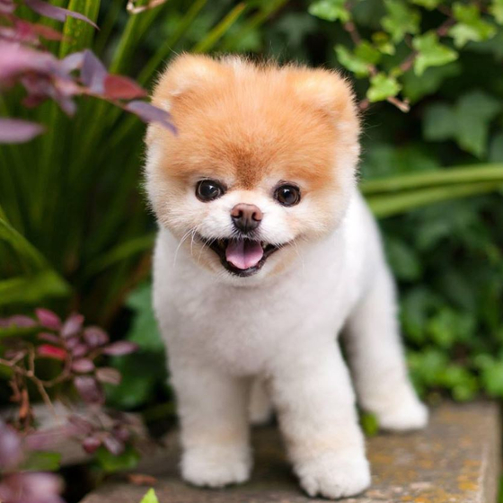 팔로어 1600만…세상에서 가장 귀여운 강아지 '부' 무지개다리 건넜다