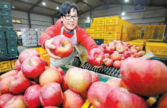 '과일공장'이 설 명절을 맞아 얼음골사과를 특별 판매한다. 품종은 '부사'로 새콤달콤한 맛과 당도를 보장한다. [프리랜서 장정필]