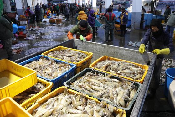 지난 18일 새벽 양양군 남애항에서 어민들이 잡아 온 오징어를 위판하고 있다. [연합뉴스]