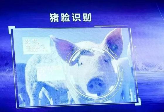 징둥 돼지 얼굴인식 기술 [사진 농업행업관찰]