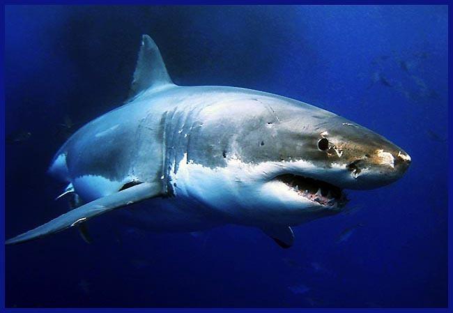 백상아리(Great White Shark) [중앙포토]