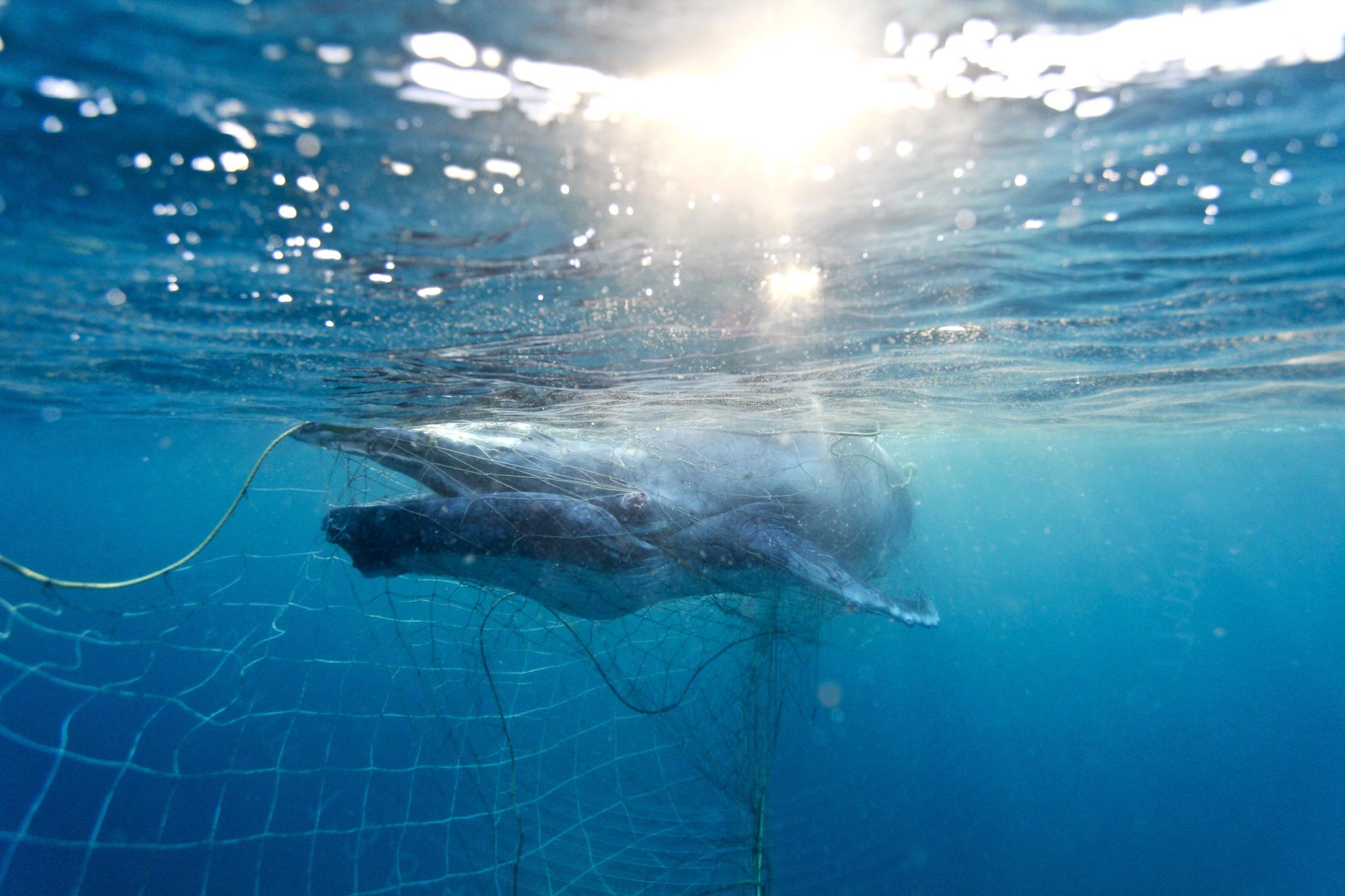 지난해 10월 상어를 막기 위해 호주 퀸즐랜드 해변에 설치한 그물에 걸린 아기 혹등고래. [EPA=연합뉴스]