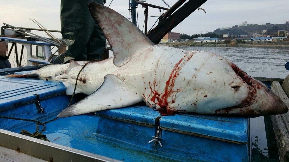 지난해 4월 14일 경북 영덕군 원척항 800m 해상에서 발견된 백상아리. [사진 포항해영경비안전서]