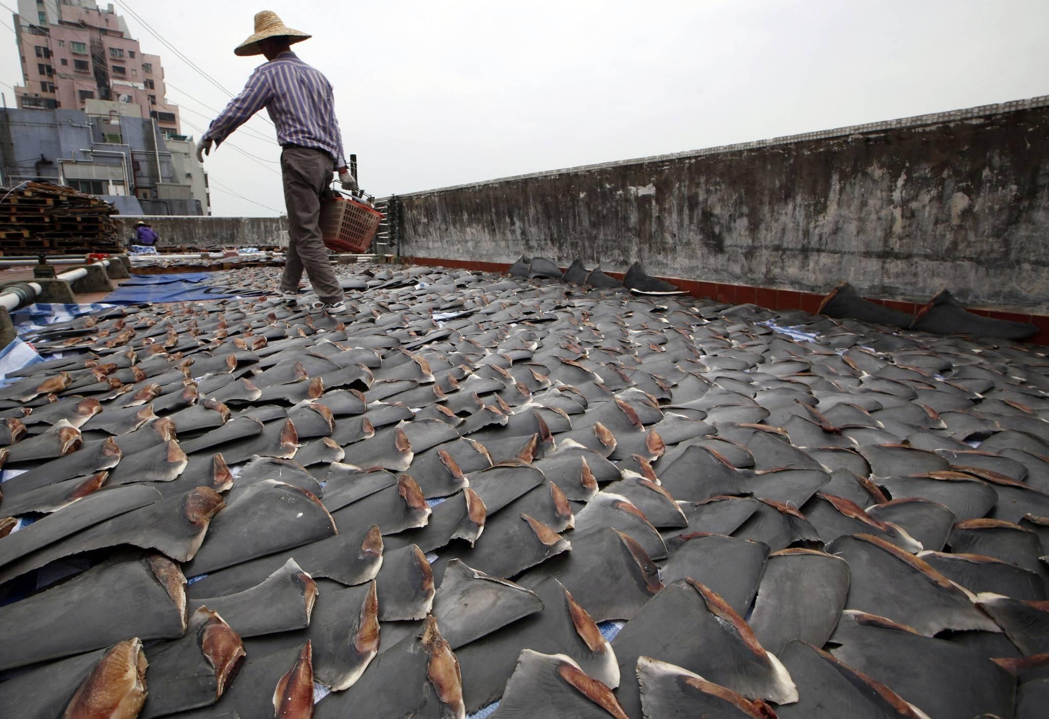 홍콩 공장 건물 옥상에서 인부가 상어 지느러미를 말리고 있다. [AP=연합뉴스, 자료사진]