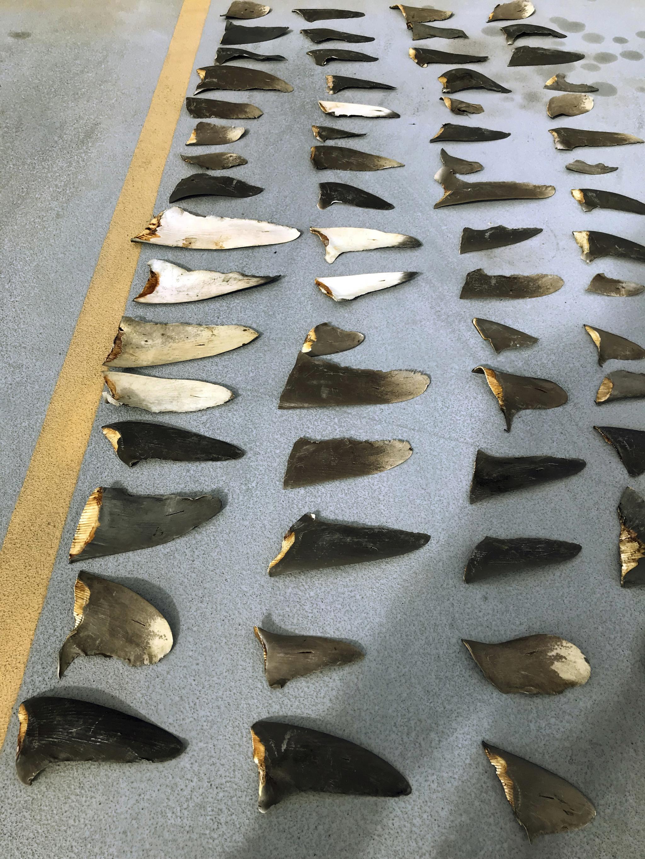미국 하와이 근해에서 조업하던 일본 어선에서 압수한 상어 지느러미. 지난해 11월 미국 검찰은 일본 선주와 선원을 기소하고 그 증거로 상어 지느러미를 호놀룰루 법정에 증거로 제출했다. [AP=연합뉴스]