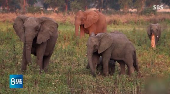 아프리카에서 상아 없이 태어나는 코끼리가 늘고 있다. 대규모 밀렵으로 상아가 없거나 작은 코끼리 생존율이 높아지자 그 유전자를 물려받는 개체가 늘어난 것이다. [SBS 캡처]