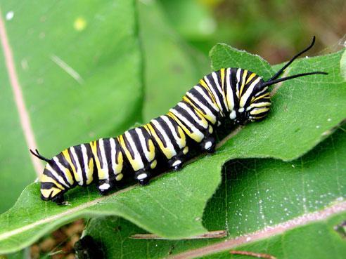 모나크나비 애벌레 [사진 미국 지질조사국(USGS)]