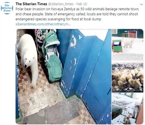 지난해 말 러시아 외딴 섬마을 노바야 제믈랴에 굶주린 북극곰 50여마리가 출몰했다. 북극곰들은 기후변화로 얼음이 녹아내리자 먹을 것을 찾아 남쪽으로 내려온 것으로 전해졌다. [시베이란 타임스 트위터 캡처]