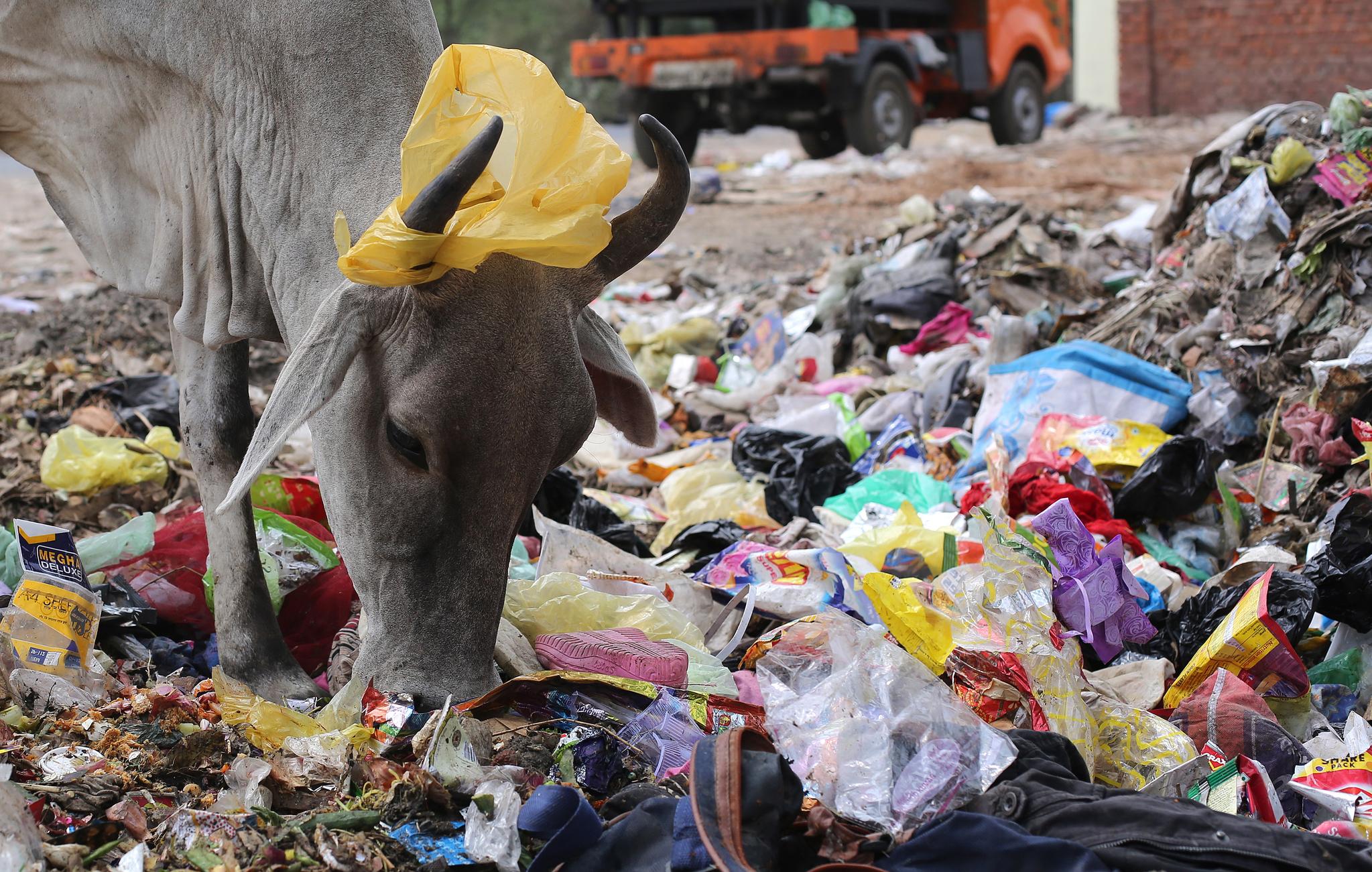 지난해 6월 인도 뉴델리에서 한 소가 쓰레기 더미에서 음식을 찾고 있다. [EPA=연합뉴스]