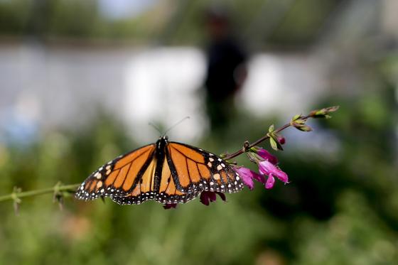 매년 캐나다와 멕시코 사이 4000㎞를 오가는 모나크나비. 멕시코 월동지가 훼손되고, 경유지에서는 경작지 확대로 먹이식물인 밀크위드가 줄면서 모나크나비 숫자도 전보다 크게 줄었다. [AP=연합뉴스]