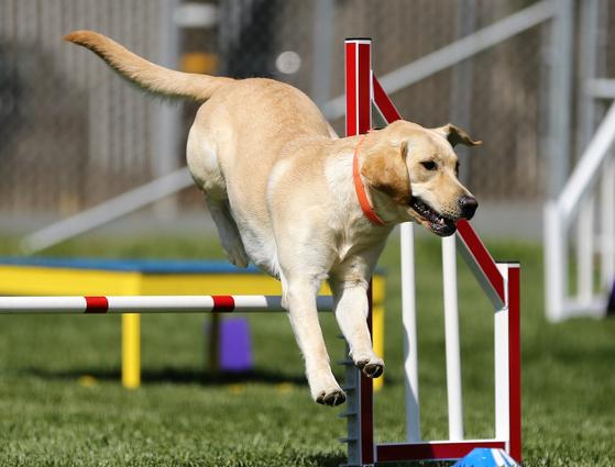 플라이볼은 4마리의 개가 한 팀이 되어 릴레이로 허들 4개를 넘고, 박스 안의 테니스공을 물고 돌아오는 것을 말한다. [사진 pixabay]